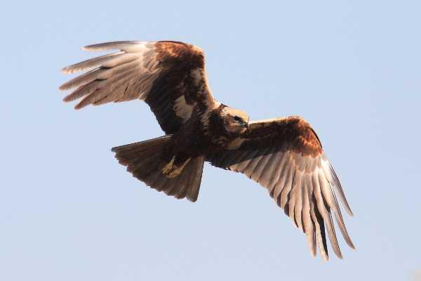 falco-di-palude2492